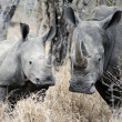 Mother and baby Rhino — Stock Photo