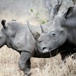 Mother and baby Rhino — Stock Photo #28410659