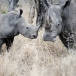Mother and baby Rhino — Stock Photo #28410663