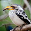Closeup of a Hornbill — Stock Photo