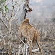 Female Kudu — Stock Photo