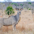 Male Kudu — Stock Photo