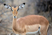 Female Impala — Stock fotografie