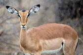 Kobieta impala — Zdjęcie stockowe