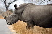 Female Rhino — Stock Photo