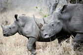 Mother and baby Rhino — Stockfoto