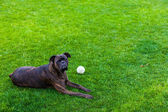 Boxer dog laying on a grass with white ball — Stock Photo