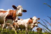 Montbeliarde krávy — Stock fotografie
