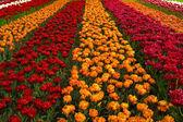 Våren fält med tulpaner — Stockfoto
