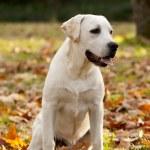 Labrador Retriever — Stock Photo #14934085