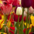 Tulips — Stock Photo #14933495