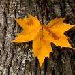 Close-up of a beautiful autumn leaf on a trunk of a tree - Stock Photo