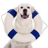 Dog with a sailor buoy — Stock Photo