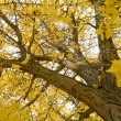 Stock Photo: Gingko