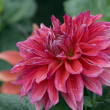 Rosy dahlia flower — Stock Photo
