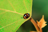 Ladybird on center of leaf — Stock Photo