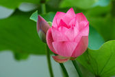 Lotus flower and bud — Stock Photo