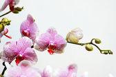 Weiße orchidee mit rosa flecken — Stockfoto