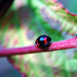 Walking ladybug along stem — Stock Photo