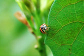 Ladybird standing on edge of leaf — Zdjęcie stockowe