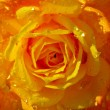 Rose with dew — Stockfoto