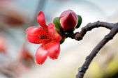 Flowers of ceiba — Stock Photo