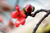 木棉的花朵 — 图库照片