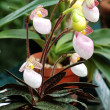 Stock Photo: Lady slipper (orchid)
