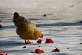 步行母鸡 — 图库照片
