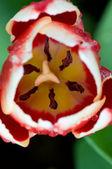 Zbliżenie kwiatów tulipan — Zdjęcie stockowe