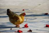 Walking hen — Foto Stock