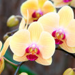 Yellow lady slipper (orchid) — 图库照片