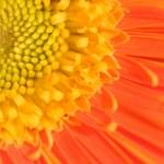 Orange marguerite — Stock Photo #43301939