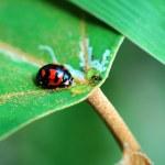 Ladybird with leaf — Stock Photo #43302417