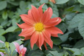 Blooming dahlia flower — Stock fotografie