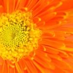 Orange marguerite — Stock Photo #43688189