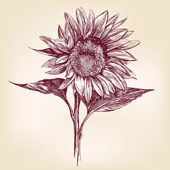 Sunflower hand drawn vector llustration realistic sketch — Stock Vector