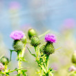 Thistle Blossom — Stock Photo #17472993