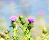 Thistle Blossom — Stock Photo