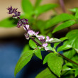 Thai Basil — Stock Photo #22819210