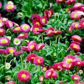 Bellis Flowers — Stock Photo