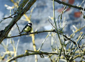 Titmouse — Stockfoto