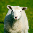 Lamb — Stock Photo #24500557