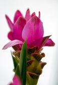 Fiore di curcuma — Foto Stock
