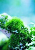 Moss Pillows — Stock Photo