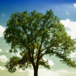 Stock Photo: Summer Tree