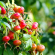 Rosehip — Stock Photo #32255157