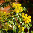 Holly Bush — Stock Photo #32256521