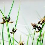 Постер, плакат: Flowering Grass