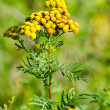 Flowering tansy plant — Stock Photo #38710483